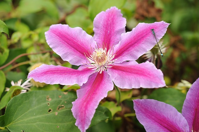 Clematis / Waldrebe